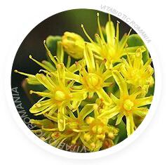 cum arata planta rhodiola rhosea